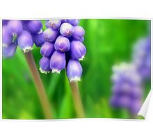 Magical Muscari Poster