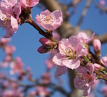 Peach Blossom Beauty by James Brotherton
