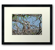 Great Blue Heron Babies waiting for Mother Return Framed Print