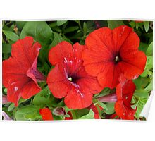 Really Red Petunias Poster