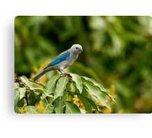 Blu-grey Tanager Canvas Print