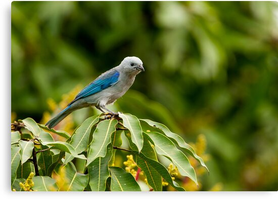 Blu-grey Tanager by Paul Wolf