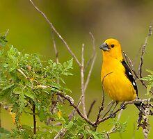 Southern Yellow Grosbeak by Paul Wolf