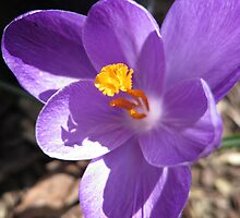 Crocus by Stephen Oravec