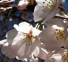 Cherry Blossom Glow by Kieran Rundle