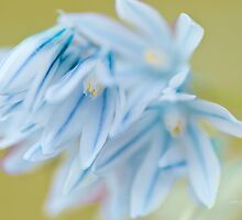 ...blue scilla...... by Jane Anastasia Studio