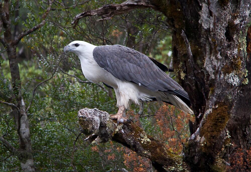 White-bellied Sea Eagle by Ian Robertson