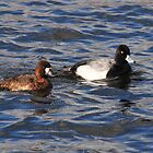 Lesser Scaup- Male & Female by Lynda  McDonald