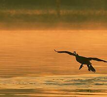 Cormorant Landing at Sunrise by Paul Wolf