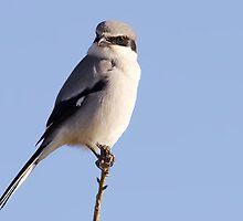 Loggerhead Shrike Close-up by Paul Wolf