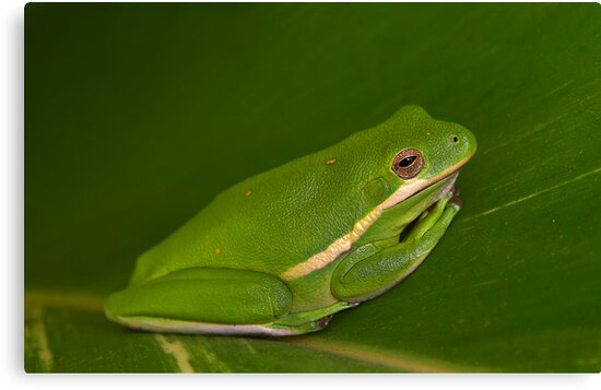Green Tree Frog Close-up by Paul Wolf