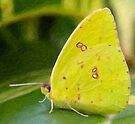 Cloudless Giant Sulphur Butterfly-Impasto Style Digital Painting by Paul Wolf