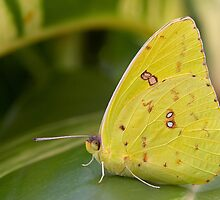 Cloudless Giant Sulphur Butterfly by Paul Wolf