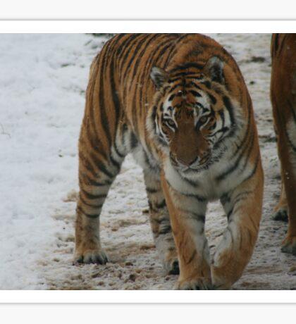 Sasha - Siberian Tiger Sticker