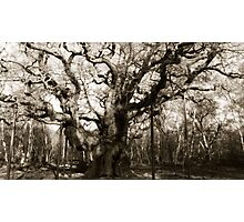 Major Oak b/w Photographic Print