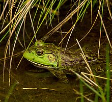 American Bullfrog in the Reeds by Paul Wolf