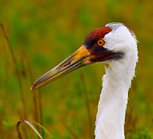 Whooping Crane Portrait 2 by Paul Wolf