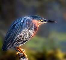 Green Heron Close-up by Paul Wolf