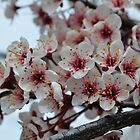 Cherry Blossoms by CADavis