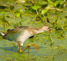 Purple Gallinule Juvenile by Paul Wolf