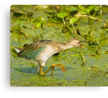 Purple Gallinule Juvenile Canvas Print