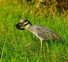 Night-heron and Crawfish by Paul Wolf