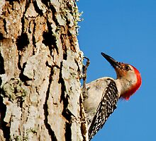Red-bellied Woodpecker by Paul Wolf