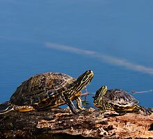 Young and Old Turtles by Paul Wolf