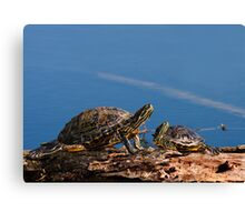 Young and Old Turtles Canvas Print