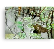 Male Bullfrog Canvas Print