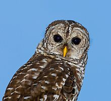 Barred Owl  by Paul Wolf