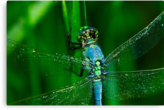 Dragonfly Macro by Paul Wolf