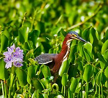 Green Heron and Hyacinth by Paul Wolf