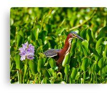 Green Heron and Hyacinth Canvas Print