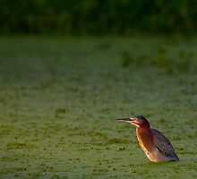 Green Heron in the Water by Paul Wolf