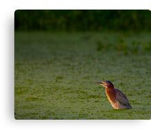 Green Heron in the Water Canvas Print