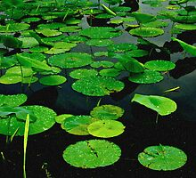 Lily Pads on Dark Water-Digital Painting by Paul Wolf