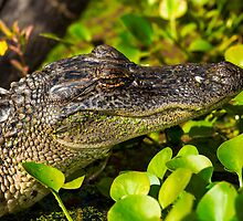 Young American Alligator by Paul Wolf