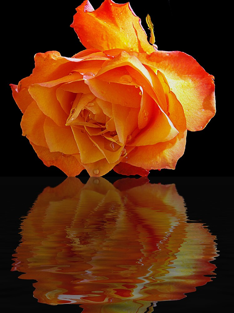 520-rose with the reflections by elvira1