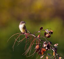 Eastern Phoebe by Paul Wolf