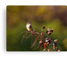 Eastern Phoebe Canvas Print
