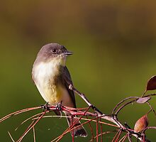 Eastern Phoebe Close Up by Paul Wolf