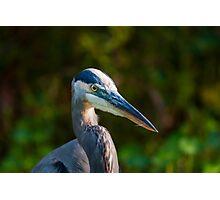 Great Blue Heron Portrait Photographic Print