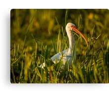 White Ibis in the Weeds Canvas Print