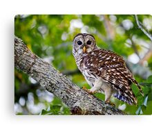 Barred Owl Walking Up a Tree Canvas Print
