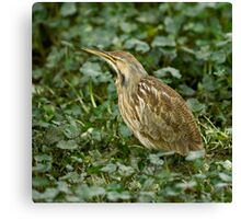 American Bittern Stitched Photo Canvas Print