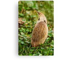 American Bittern Full-view Stitched Photo Canvas Print
