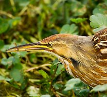 American Bittern With Small Fish by Paul Wolf