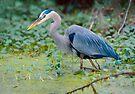 Great Blue Heron Digital Painting by Paul Wolf