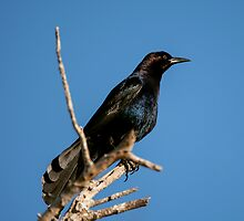 Boat-tailed Grackle by Paul Wolf